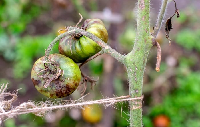 How to Fix Blossom End Rot On your Tomatoes
